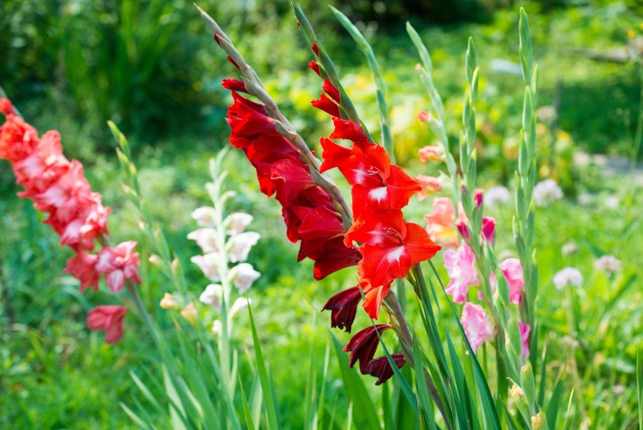 Gemeinsame Gladiolen tief genug pflanzen @HL_17